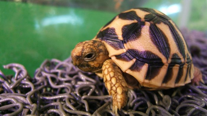 A small brown turtle on soba noodles.