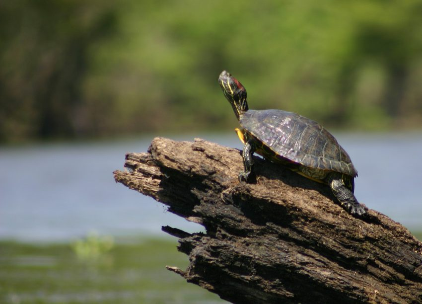 Sideway view of a turtle on a log, looking up.