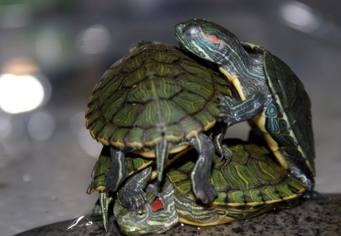 Turtles on top of each other.